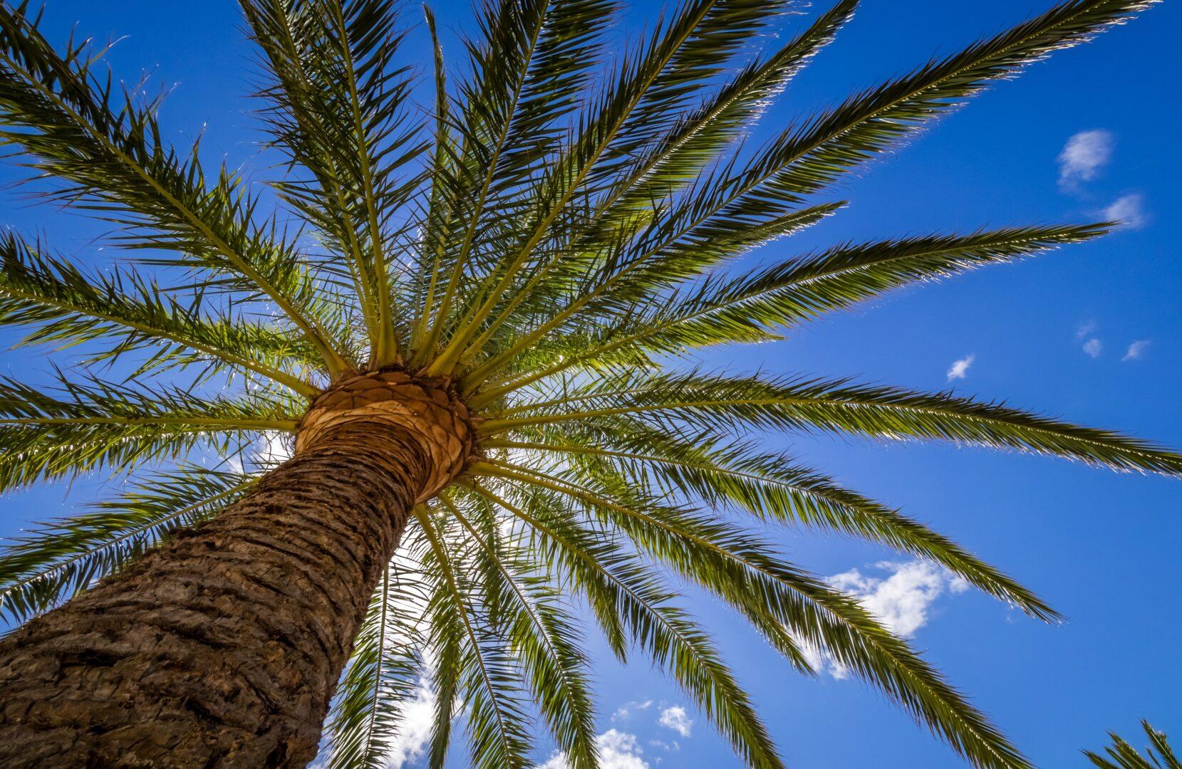 Poda palmera